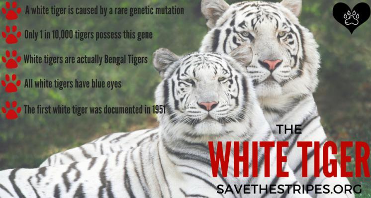 WHITE TIGER.png